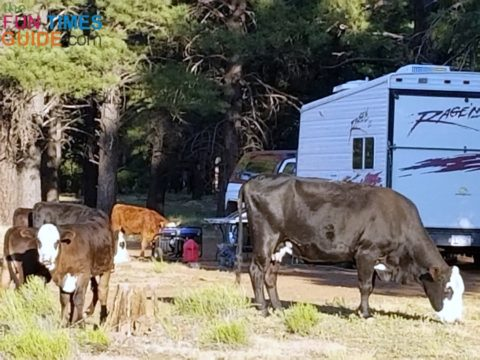 Cattle grazing around National Forest land campers.