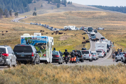 Traffic and wildlife in Yellowstone National Park